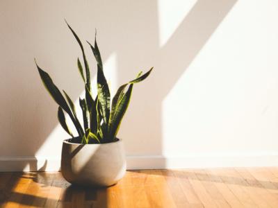 sansevieria - roślina oczyszczająca powietrze ze smogu